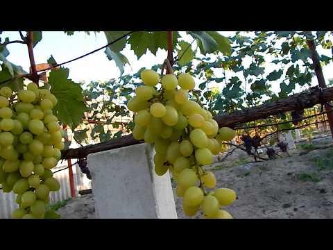 Лучшая 10 сортов винограда 2019 года.  На моём винограднике.