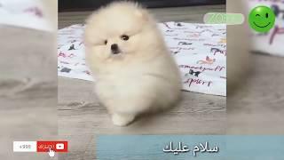 أروع كلب صغير أبيض