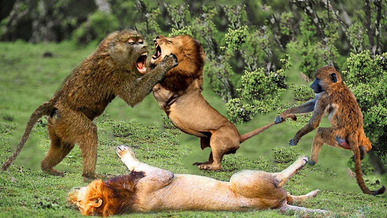 Fight For Survival. Lion Failed To Climb A Tree To Catch Baboon. Leon vs Babuinos
