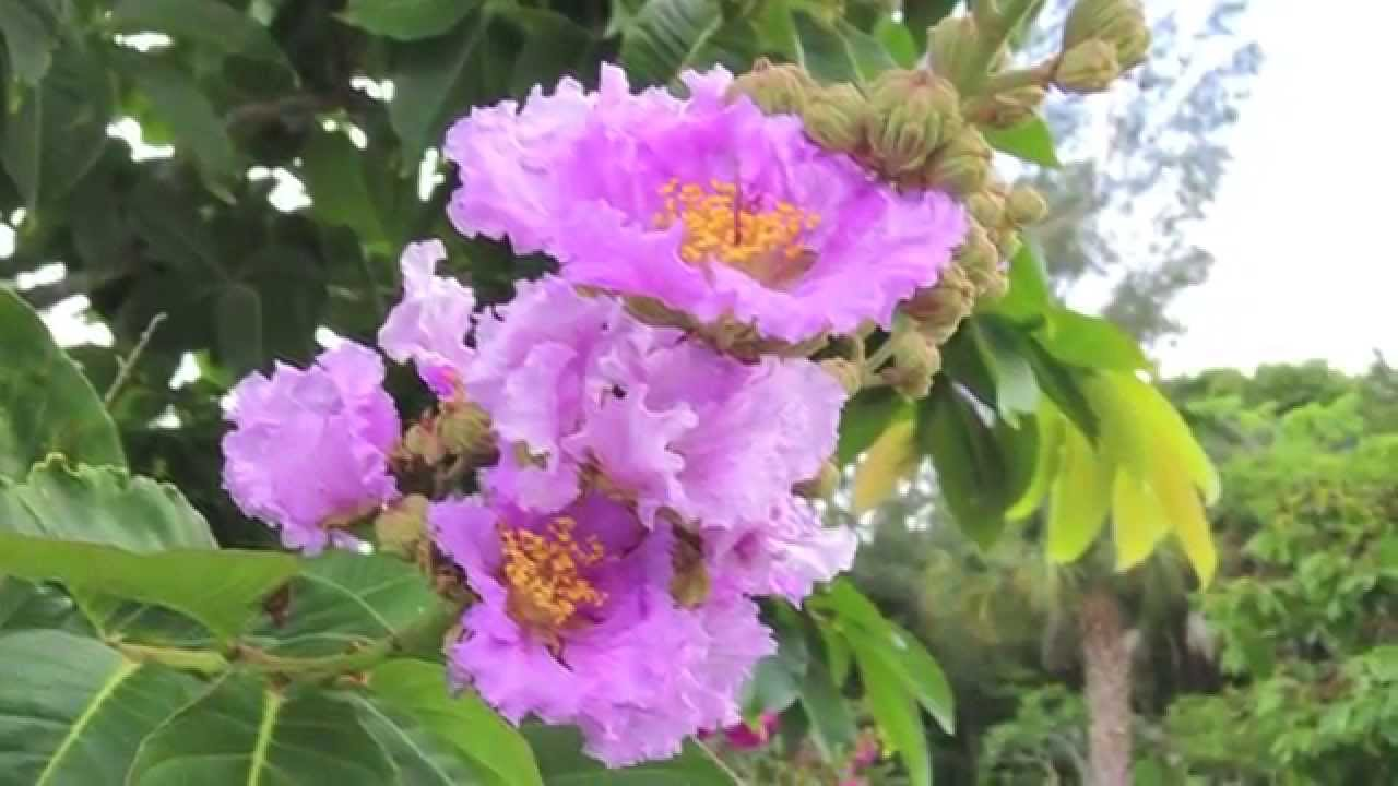 Flowering trees southwest florida youtube flowering trees southwest florida mightylinksfo