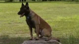 Off-leash K9 Indianapolis Dog Training Belgian Malinois