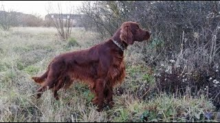 Some highlights from the last 23 years  Riley the irish setter