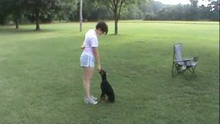 Doberman Puppy 14 Wks Training Obedience