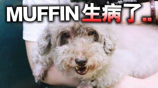 【突發】MUFFIN生病了,要做手術...