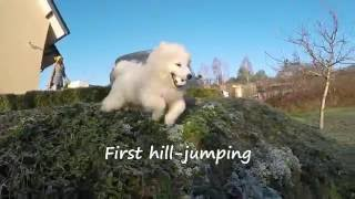 1st Birthday Promo Video of Vienna - Samoyed https://www.facebook.c...