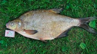 Квест лящ 1256 гр Російська рибалка 3.7.5