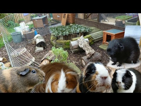 New Guinea Pig Enclosure