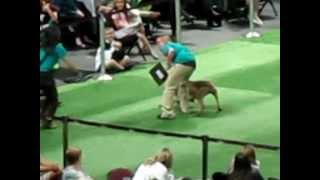 Rookie The Weimaraner In The Large Dog Category - Best In Show Las Vegas 2012