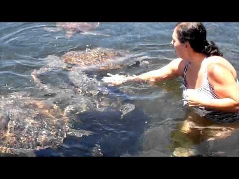 Swimming With Turtles - Savai