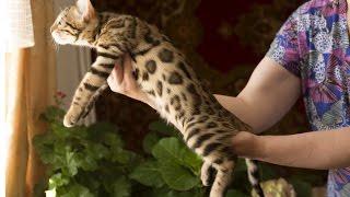 Породы кошек. Бенгальская кошка.