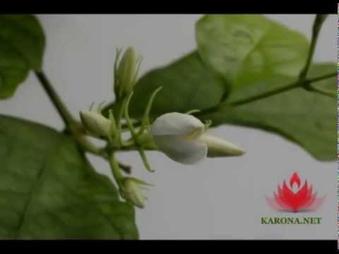 Из цветков жасмина душистого (jasminum odoratissimum), жасмина крупноцветного (jasminum grandiflorum) и жасмина индийского (jasminum sambac) добывают душистое эфирное масло (точнее, абсолю), которое используется в производстве духов и ладана). Жасмин индийский, или самбак (jasminum.