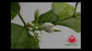 Жасмин «Самбак»(Красиво и медленно распускающееся растение - Жасмин «Самбак», 2015-07-30T04:02:04.000Z)