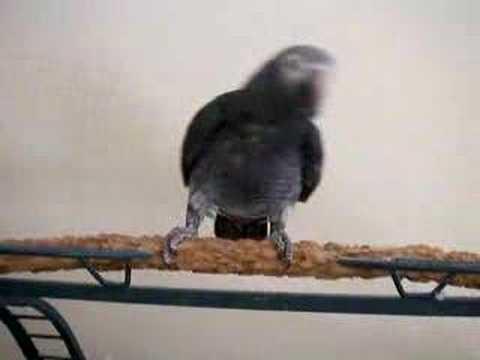 Dancing African Grey Parrot