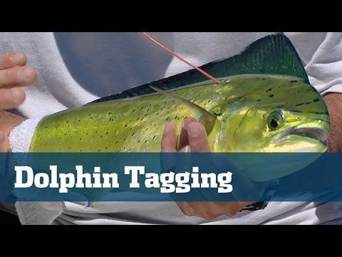 Everything You Need To Know About Dolphin Tagging - Florida Sport Fishing TV