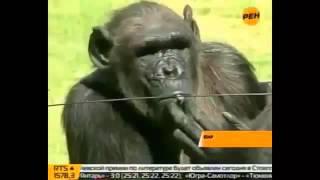 Смешные Обезьяны видео смотреть, приколы, РЖАКА!!!