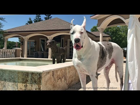 Talkative Great Dane Asks To Go Out To Swim In The Pool