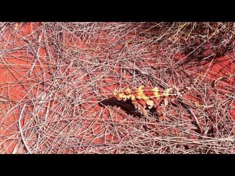 thorny dragon (diavolo spinoso)