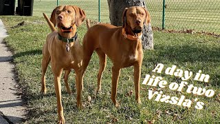 Dog Vlog: A day in the life of two Vizsla's/ Vizsla Meet Up  Weekend edition