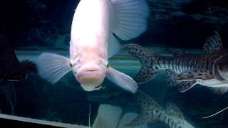 hd video of 180 gallon aquarium rtc giant gourami