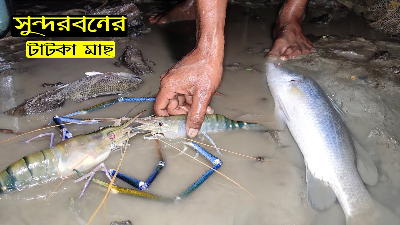 Best Cast Fishing in Sundarban | King Prawn and Snapper Fish Hunting | Fishing Video | Adventure BD