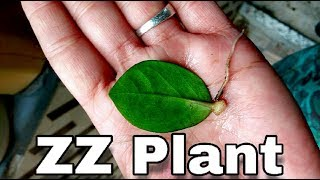 A to Z about ZZ plant information, care, growing, repoting... In Hindi