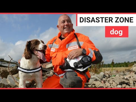 Springer spaniel trained to enter disaster zones | SWNS TV