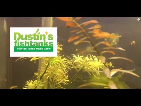 How to grow ludwigia cuba species sunday ludwigia for Dustins fish tanks