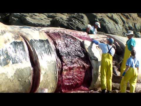 Bean Hollow State beach Blue Whale necropsy 4/5