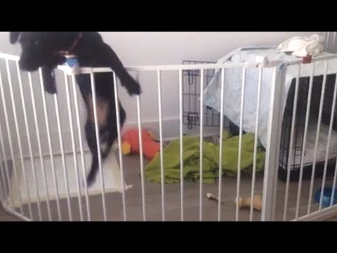 Sneaky Dog Escapes from Playpen