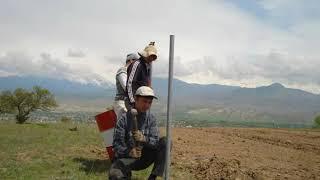 Так начиналась история первой Кыргызской плантации Павловния