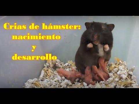 HÁMSTERS - El crecimiento y el desarrollo de las crías de hámsters