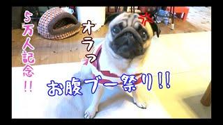 5万人記念!! 真夏のお腹ブー祭り!! [最後に告知あり]パグ犬ぷぅ Pug
