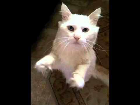 white-norwegian-forest-cat-begging
