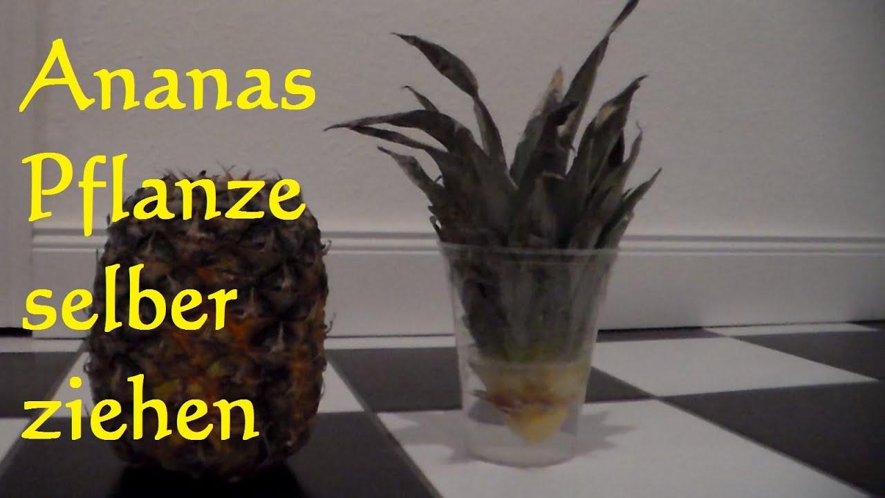ananas vermehren ananas einpflanzen so wirds gemacht youtube. Black Bedroom Furniture Sets. Home Design Ideas