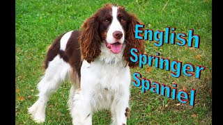 English Springer Spaniel Dog Breed Info.  How to Choose Dogs