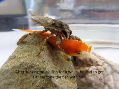 Giant Water Bug Lethocerus Medius Eating Fish Youtube