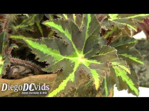 Begonia rex especies (Begoniaceae) Begônia