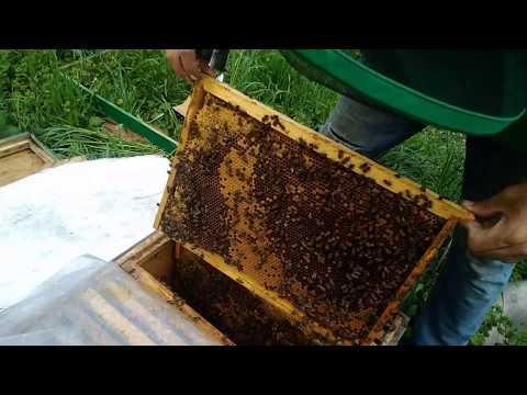 Пчелиная семья которая перезимовала на 0.5 рамки розвиваются в мае