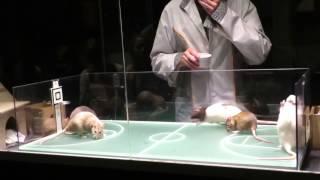 Ratten spielen Basketball / Rats playing basketball