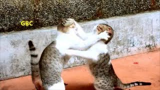 Funny cats boxing  - Cat fight with funny sound effects