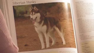 Dog Breeds : How To Select A Siberian Husky