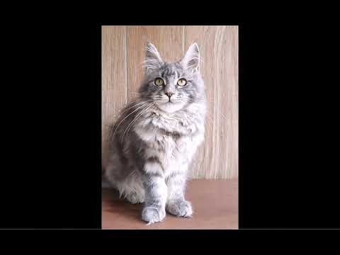The Maine Coon Jayley