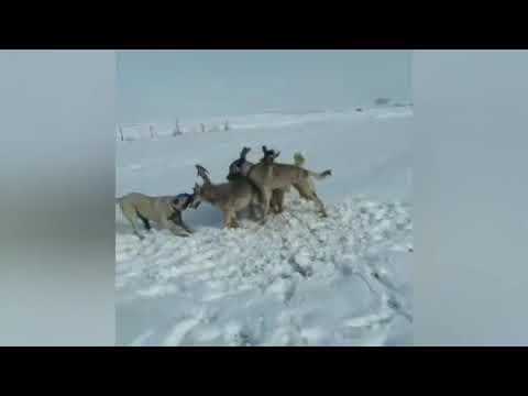 Волкодавы против волка