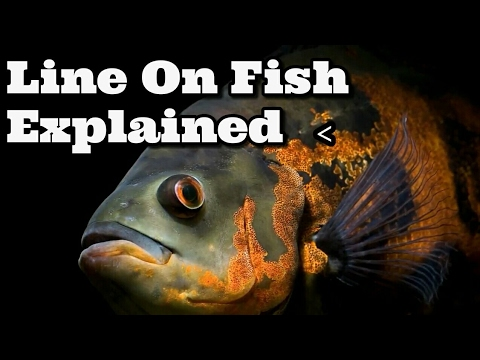 Lateral Line Explained (The Weird Mark/line  On The Side Of Your Fish)