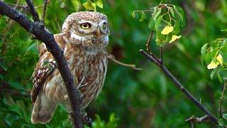 Сыч домовый (Athene noctua) - Little Owl