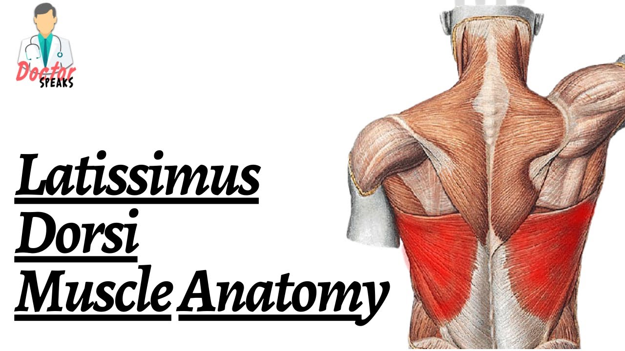 m.  latissimus dorsi: Training, Anatomie, Dehnung und Übungen