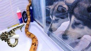 ЗМЕЯ В ДУШЕ! ПАПА МАЛАМУТ ЗАЩИЩАЕТ ДОЧЬ / змеи питон и удав купаются