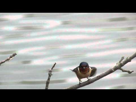 Barn Swallow/ John Heinz NWR at Tinicum