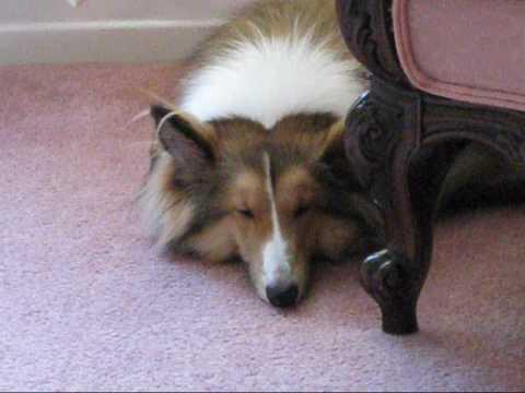 Resultado de imagen para sheltie sleeping
