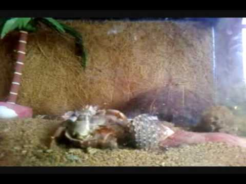 Cangrejos ermita os cambiando de caparaz n youtube for Caracoles de jardin que comen